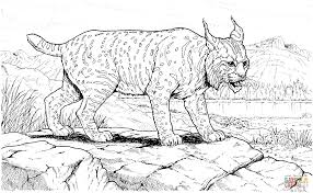 canada lynx coloring page coloring home
