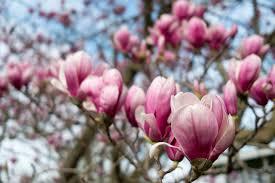 magnolia flowers connecticut garden journal growing magnolias connecticut