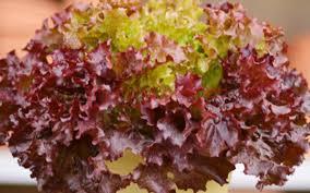 unique purple lettuce expensive seeds still hunt