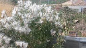 native plant nurseries oregon somonarchs org milkweed