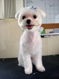 maltese dog haircuts yahoo image search results maltese