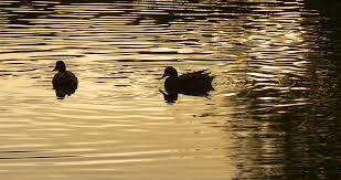 two ducks swimming along water stock video footage videoblocks