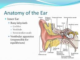 Inner Ear Anatomy And Physiology Anatomy And Physiology 2 The Special Senses Smell Taste Sight