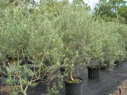 olive tree growers olive tree varieties arbequina frantoio