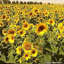 organic sunflower seeds yellow spray american