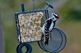 How To Attract Indigo Buntings To Your Backyard Bird Feeding Feeding Wild Birds Birds U0026 Blooms