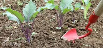 weeding vegetable gardens