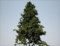 douglas fir field medium speedtree