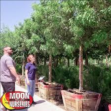 blockbuster multi trunk pepper trees