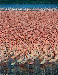 sea of pink birds of a feather flock together for spectacular
