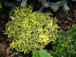 Flower Shrubs For Shaded Areas - flowering and nonflowering shrubs for shade enkiverywell