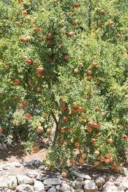 when to prune native plants trimming pomegranate trees when and how to prune a pomegranate tree