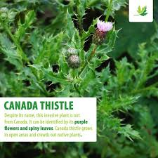 native canadian plants nature conservancy of canada conservation de la nature canada