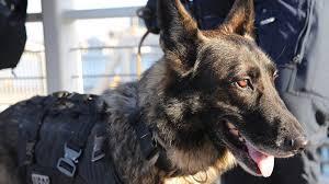 belgian shepherd diesel moving account of police handler who watched his dog die