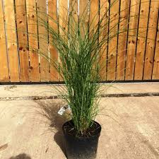 miscanthus sinensis gracillimus ornamental grass for sale uk