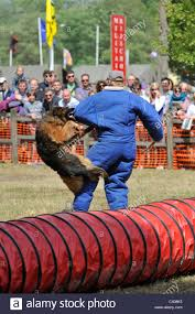 belgian sheepdog diet people and dog fight stock photos u0026 people and dog fight stock