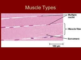 Anatomy And Physiology The Muscular System Anatomy And Physiology Ch 6 Muscular System Muscle Types Skeletal