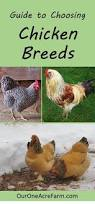 Chickens For Backyard Guide To Choosing Chicken Breeds Pick The Best Breeds For Your