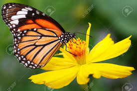 closeup butterfly on flower common tiger butterfly stock photo