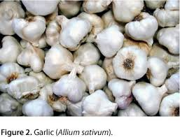 Diseases In Plants And Animals - allium species poisoning in dogs and cats