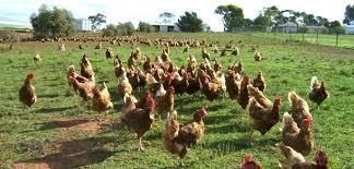 Can I Raise Chickens In My Backyard Eartheasy Blogour Top 6 Chicken Raising Mistakes Eartheasy Blog