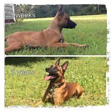 belgian shepherd k9 royal police dogs llc home facebook