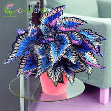 How To Grow Coleus Plants by 100pcs Janpanse Bonsai Coleus Seeds Foliage Plants Perfect Color