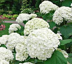white hydrangeas snowball hydrangeas white flower farm