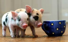 adorable u0027teacup pigs u0027 are latest hit with brits today com