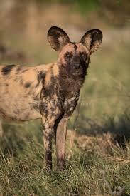 safari ltd african wild dog a vertical colour photograph of an african wild dog lycaon pic