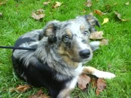 8 month australian shepherd max the blue merle and tri coloured welsh sheepdog at 8 months