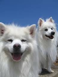 american eskimo dog for sale ontario whitney left and shasta right our two fabulous miniature