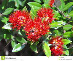pohutukawa flowers u0026 leaves new zealand christmas tree royalty