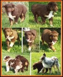 mini australian shepherd 7 weeks callie u0027s litter 1 pup1 bet blue eyed red tri male miniature
