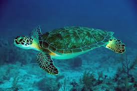 pictures of a sea turtle pictures qygjxz