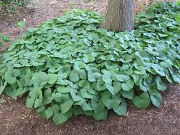 native medicinal plants asarum canadense wild ginger rhizome used as ginger substitute