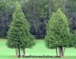 cedar trees pair of ornamental cedar trees treepicturesonline