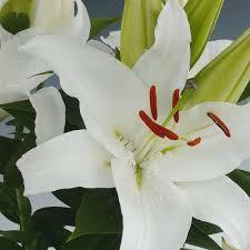Lily Plant Lily Bulbs Thompson U0026 Morgan