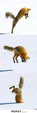 Meme Fox - fox memes funny fox pictures memey com