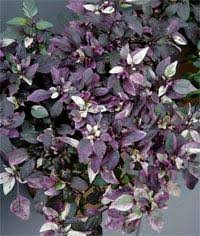 plant of the month purple flash and calico