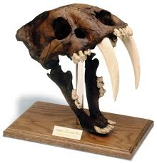 amazon com saber tooth tiger skull w stand tar pit finish