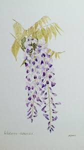 wisteria sinensis australian bush flower 53 best глициния wisteria images on pinterest wisteria art