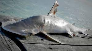 neue hai art vor belize entdeckt stern de