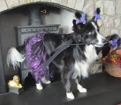 cute border collie in halloween costume asha the border collie