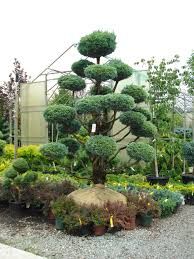 Pom Trees I Call These Dr Suess Trees Bonsai U0026 Topiary Pinterest