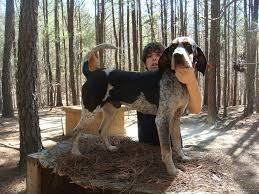 bluetick coonhound breeders ohio started dogs at bluetick 1 kennels bluetick1kennels www