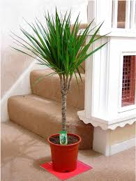 tall indoor plants large indoor plants that work best a
