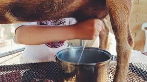 fresh goat milk from the backyard youtube