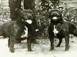 american pit bull terrier history staffordshire bull terrier part1 youtube