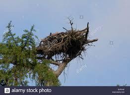 osprey nest on scottish pine tree stock photo royalty free image